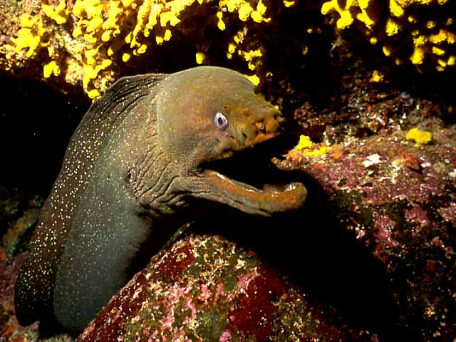 What is Moray Eel? Facts and Information 5