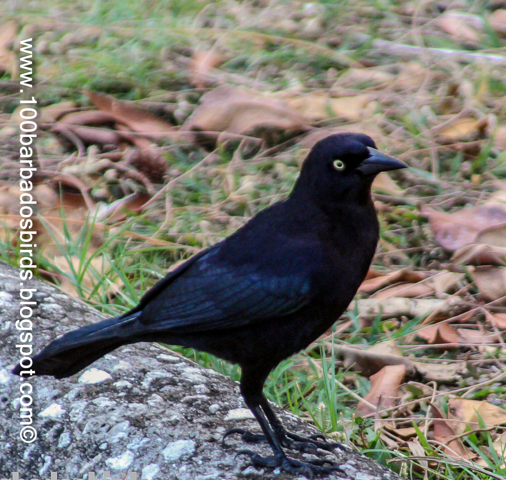Birds: Birds Of Barbados: Bird #15: Carib Grackle