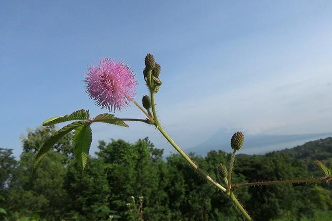 Dlium Sensitive plant (Mimosa pudica)