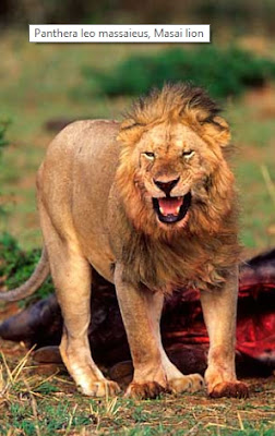Klasifikasi Panthera leo massaieus
