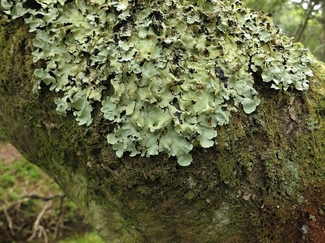 Pale green plates of (shield-like) lichen on treen.
