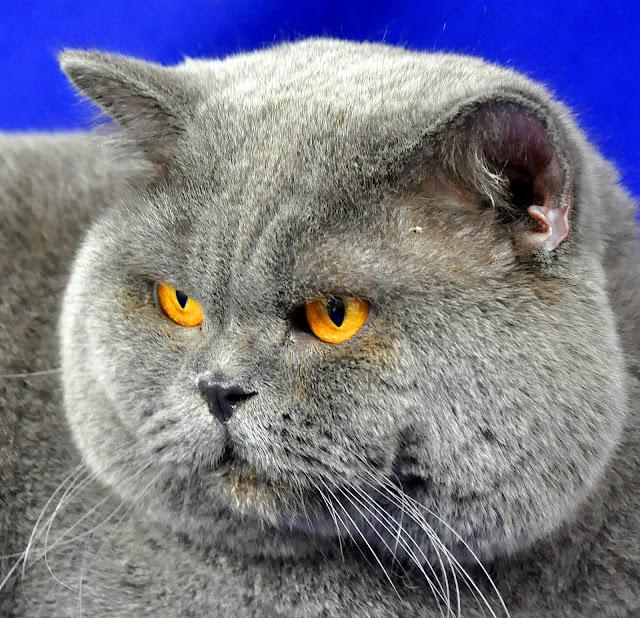 Jenis-Jenis Makanan Untuk Kucing Ras