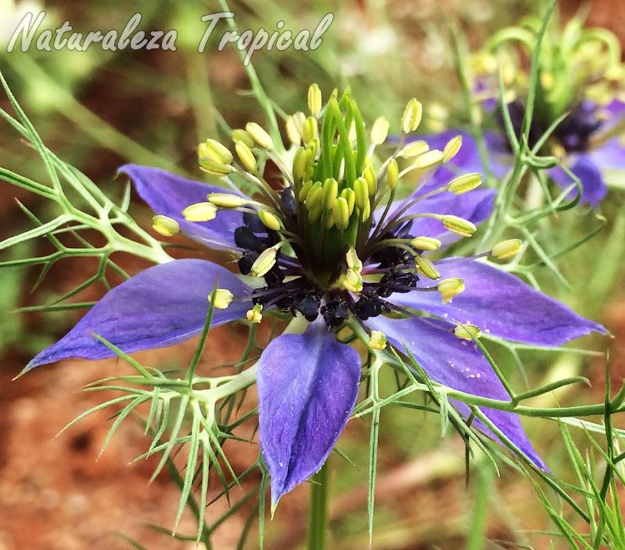La planta Arañuela, Nigella gallica