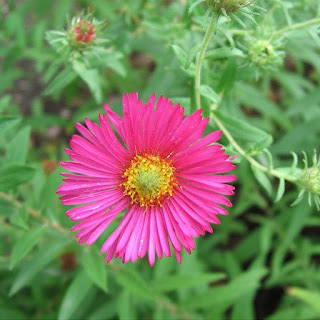Gambar Bunga Aster yang Cantik 10