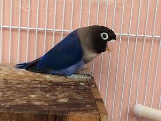 perbedaan lovebird violet DF dan violet SF