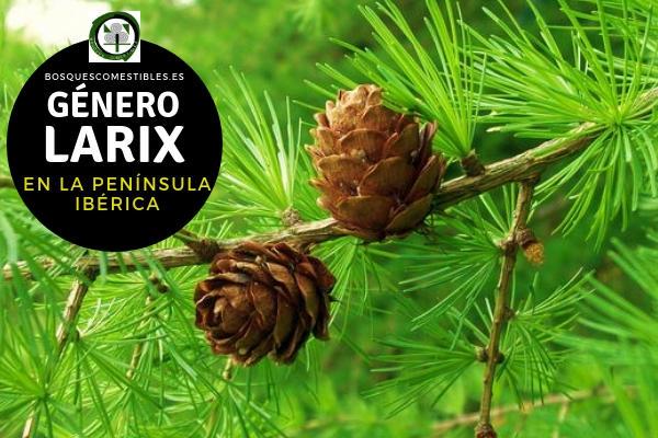 Lista de Especies del Género Larix, Familia Pinaceae en la Península Ibérica