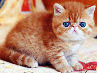 Mengenal Jenis Kucing Persia Exotic dan Fakta Keunikannya