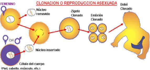 Partenogenesis asexual definicion