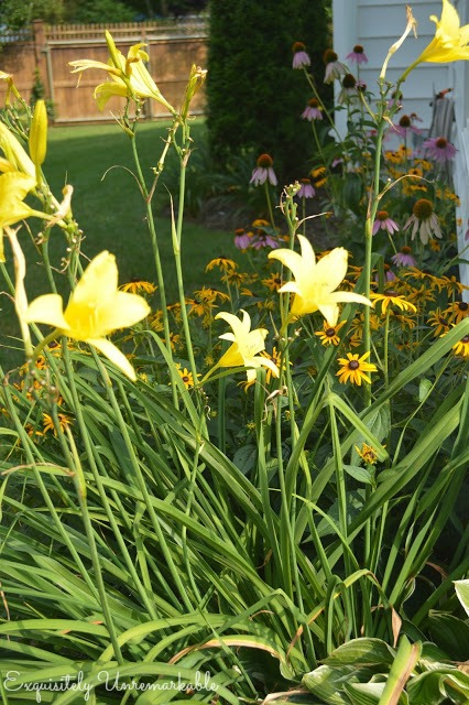 Yellow Day Lilies on a garden path
