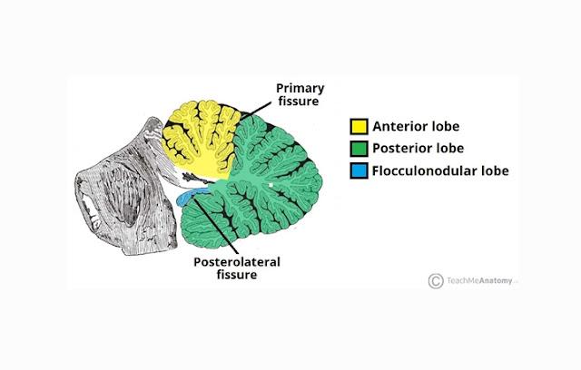 Lobus Anterior, Lobus Posterior, Lobus Flocculonodular