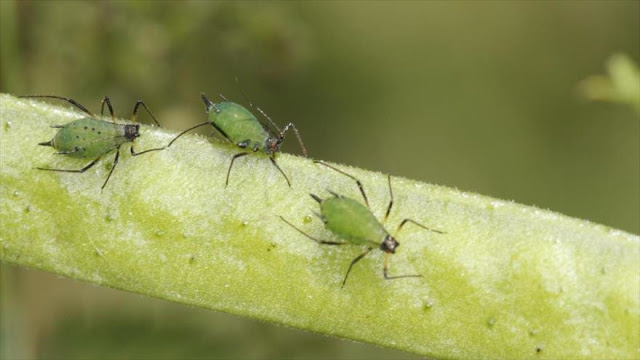 Advierten del uso de insectos infectados por el Pentágono