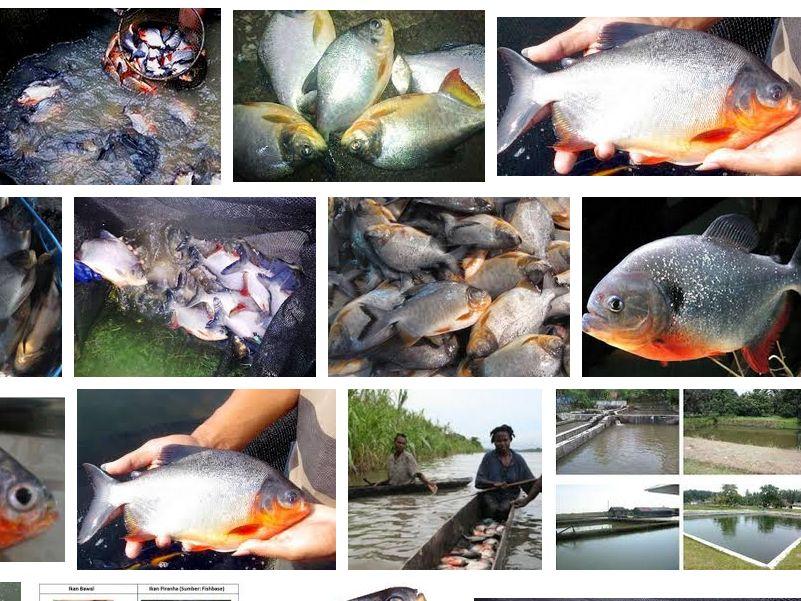 Mengenal Ikan Bawal