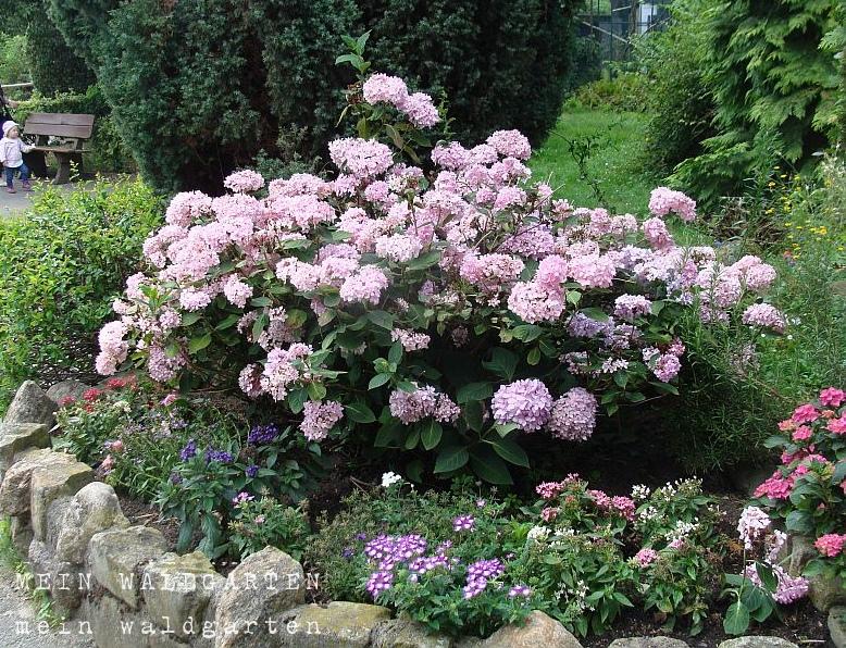 mein waldgarten neue erkenntnisse ber hortensienfarben rosen und deko f r den garten. Black Bedroom Furniture Sets. Home Design Ideas