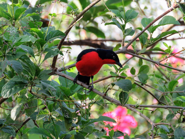 50 Awesome Ugandan Birds: Black-headed Gonolek in Entebbe
