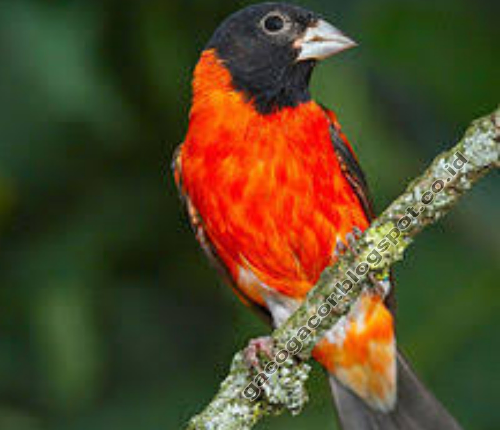 Mengenal Red Siskin Si Burung Cantik Merah Pedas Gaco Gacor