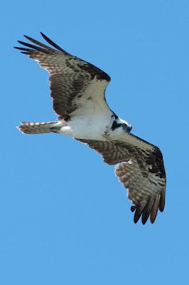 Osprey, Lewisville Lake Environmental Learning Area