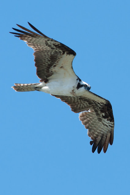 Osprey, Lewisville Lake Environmental Learning Area