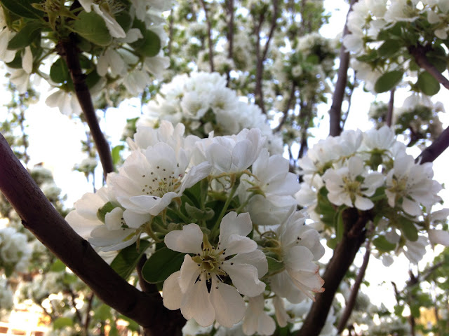 Pear blossom in April