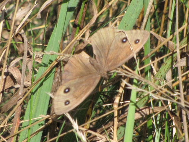 common wood nymph butterfly