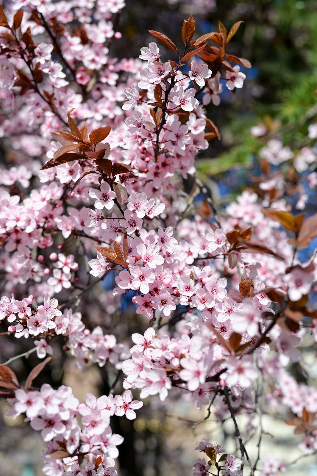 spring blooms pink flowers cherry blossom tree