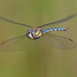 Der Flug der Libelle
