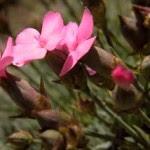 Dianthus pungens, variedad de clavel