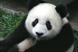 Panda adalah hewan yang dikenal lucu dan imut