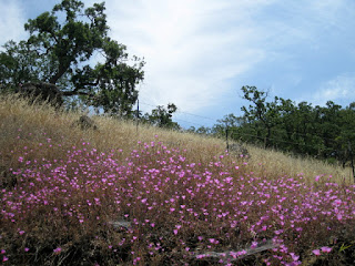 Clarkia rubicunda blooming on a dry grassy hillside along Uvas Road, Morgan Hill, California