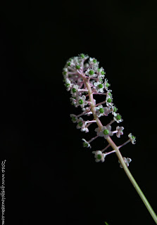 Fleur de Phytolaque, ou Raisin d'Amérique (phytolacca americana)