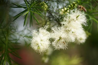 Fleurs de tea tree