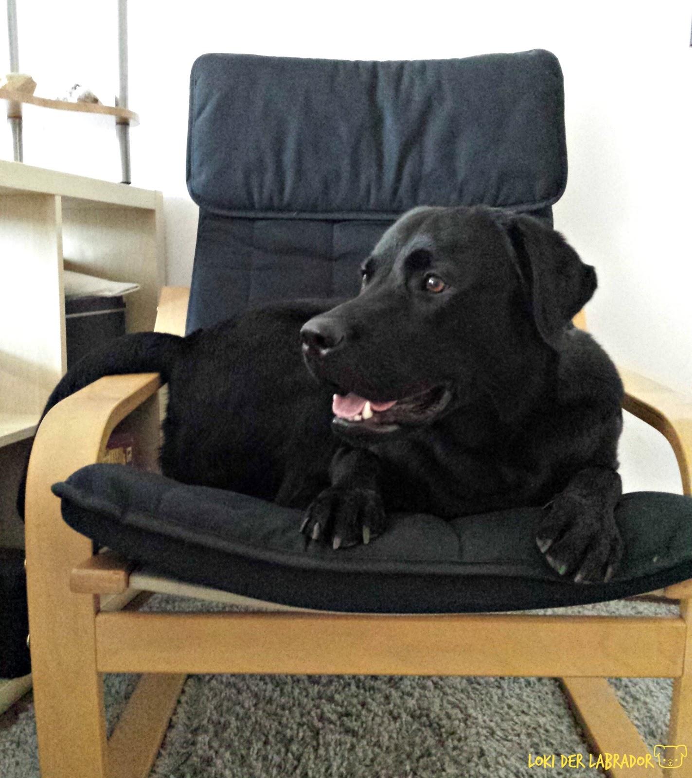 Schwarzer Labrador auf Stuhl