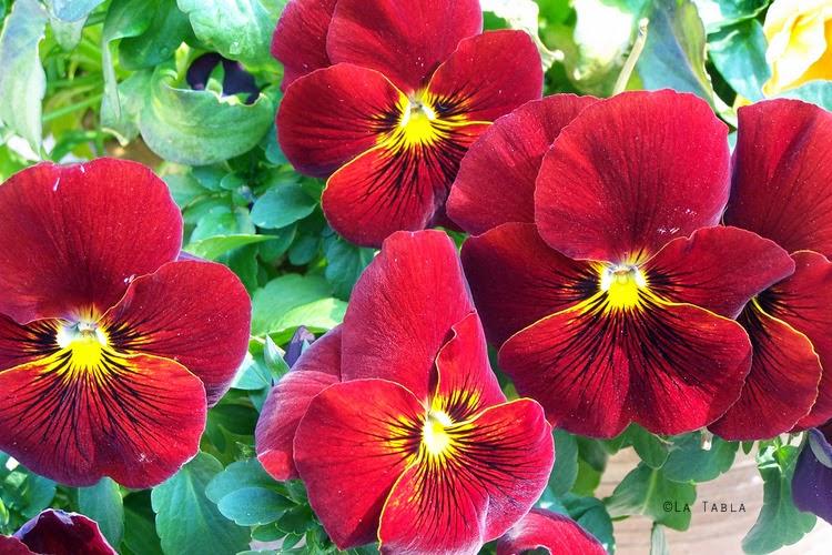 flores rojas de pensamiento (viola wittrockiana)