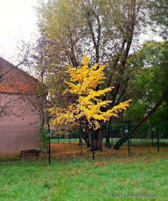 Petit Ginkgo en automne