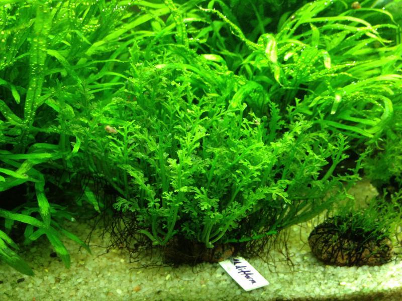 cây thủy sinh dương xỉ châu phi mini lá nước rất nhỏ nhắn