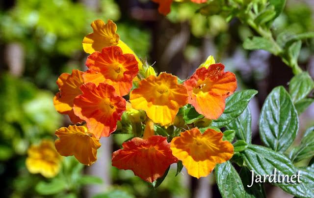 Marianinha planta flor