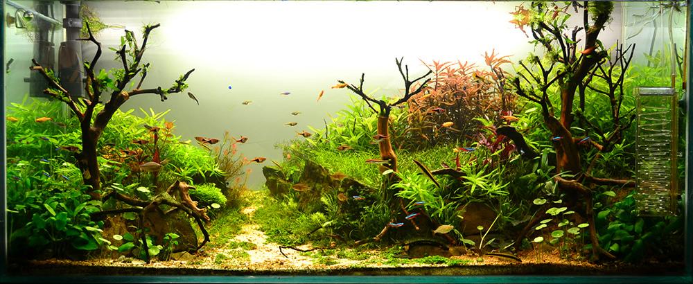 Rau má dù lùn trong một bể thủy sinh phong cách nature