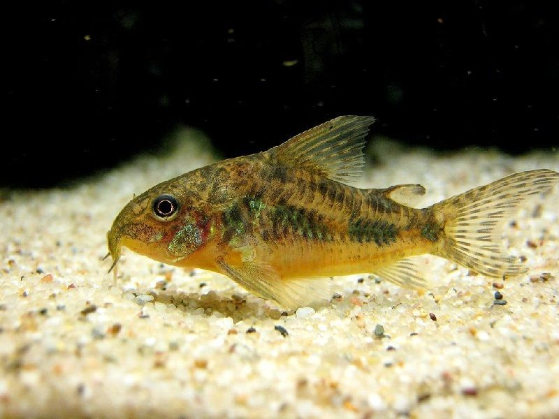 22. Jenis Ikan Hias Aquascape Peppered Corydoras