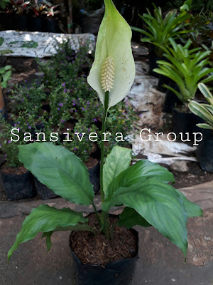 Tanaman Indoor Peace lily