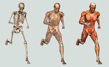 Resultado de imagen de aparato locomotor humano