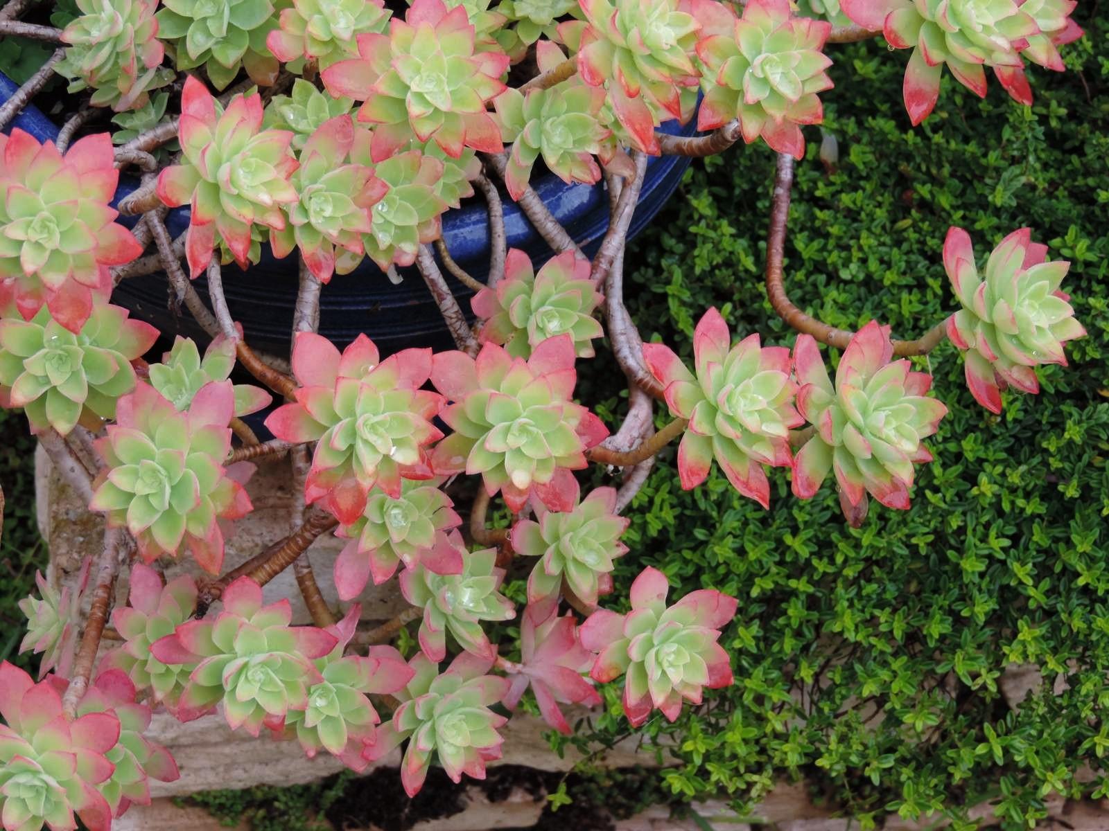 Le monde de shuki succulentes ces plantes grasses for Plantes japonaises exterieur