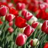 Arti Bunga Tulip Khas Belanda