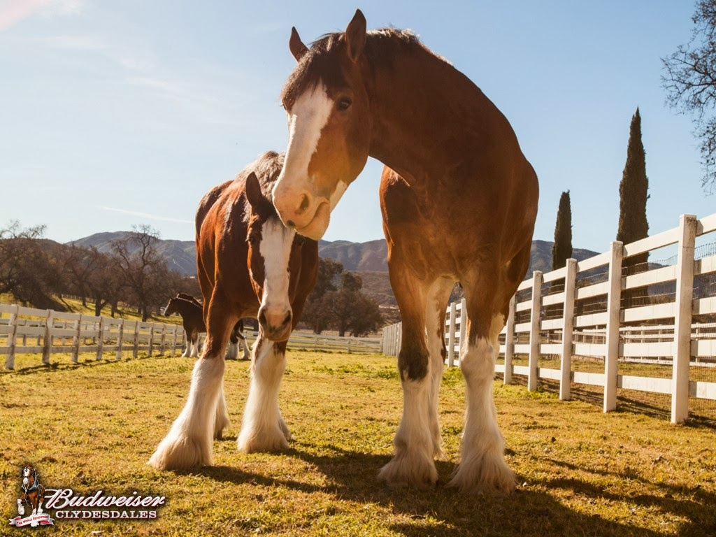 http://www.budweiser.com/clydesdales/photos-and-videos.html