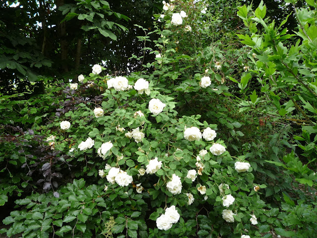 Paul's Lemon Pillar rose in a beech hedge