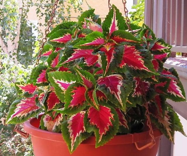 Plectranthus Scutellarioides Indoor Plant image