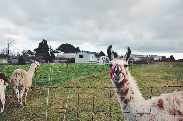 Llamas in Sequim