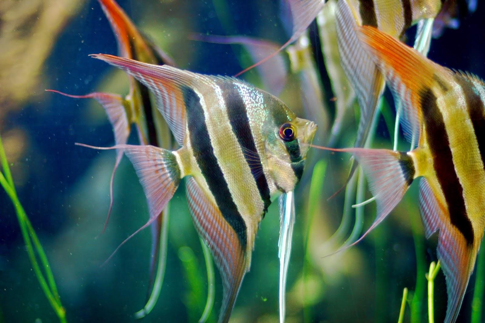 ikan hias paling di buru di indonesia