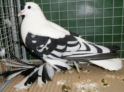 muffed saxon pigeons -