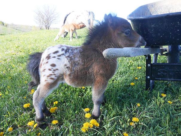 Oh My God,it's A baby Appaloosa,Mini Horse