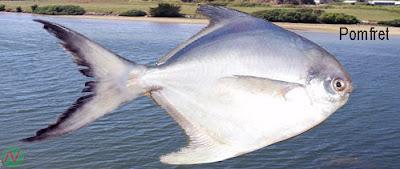 pomfret fish, pomfret