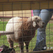 Lucy the Fabulous Karakul Club Lamb Wows Crowds at County Fair